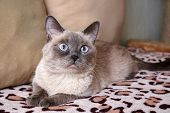 Beautiful Cute Siamese Young Gray Cat Lying On The Couch, Bed Covered With A Leopard Blanket, Carpet poster