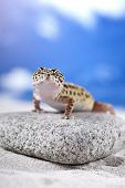 image of hemidactylus  - Gecko leopard on sand in natural environment - JPG