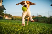Dog Beagle Purebred Running With A Green Ball On Grass Outdoors Towards Camera Summer Sunny Day On G poster