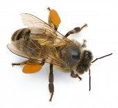 ������, ������: ���������� ����� ��� ����������� honey bee Apis mellifera ����������� ������ �������� ������ backgrou