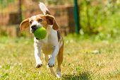 Dog Run Beagle Jumping Fun In The Garden Summer Sun With A Toy Green Ball poster
