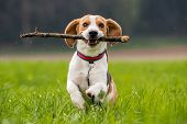 Beagle Dog In A Field Runs With A Stick poster