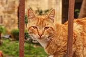Wild Redheaded Kitten Sitting Behind Brown Iron Fence And Watchs Me. Funny Cat Face Looks Throught I poster