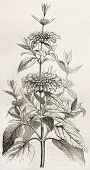 foto of dagga  - Leonotis Leonurus old illustration  - JPG