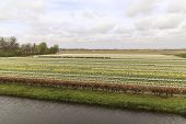 Rows And Rows Of Tulips In Bloom With Small River At Front Of Shot - Bright Sun And Fluffy White Clo poster