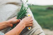 Female Hands Braid Horse Mane, Gray Horse Mane, Chamomile Flowers Are Woven Into Mane poster