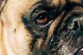 Close Up Of Cute And Purebred French Bulldog poster