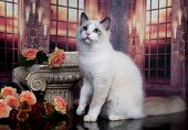 regdoll male catregdoll , male cat  poster