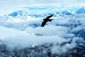 Yellow Billed Chough Flying In Front Of Swiss Alps Scenery. Winter Mountains. Bird Silhouette. Beaut poster
