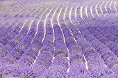 picture of lavender field  - lavender field - JPG