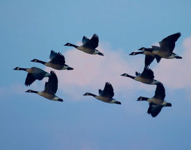 image of honkers  - a group of canada geese take flight into the dawn at quivira national wildlife refuge in central kansas - JPG