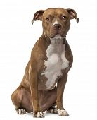 picture of american staffordshire terrier  - American Staffordshire Terrier sitting and looking at camera against white background - JPG