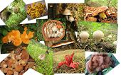 picture of morchella mushrooms  - collage mushrooms  - JPG