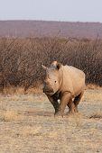 Постер, плакат: Белый носорог