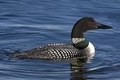 pic of loon  - Side view of Common Loon  - JPG