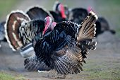 pic of turkey-cock  - farm male turkey outdoor - JPG