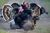 picture of turkey-cock  - farm male turkey outdoor - JPG