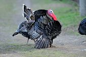 image of turkey-cock  - farm male turkey outdoor - JPG