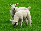 pic of suffolk sheep  - Two gorgeous woolly lambs graze happily in the grass - JPG