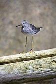 foto of long-legged-birds  - Greater Yellowlegs bird  - JPG