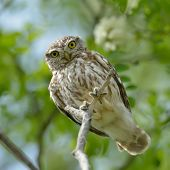 stock photo of angry bird  - the little owl in natural habitat  - JPG
