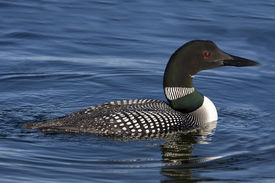 image of loon  - Side view of Common Loon  - JPG