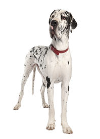 stock photo of great dane  - harlequin Great Dane in front of a white background - JPG