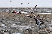 picture of greater  - Greater Flamingos taking off - JPG