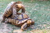 picture of mating animal  - A pair of golden African Spurred Tortoises mating at dusk.