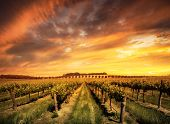 stock photo of shiraz  - Vineyard in the Barossa Valley - JPG