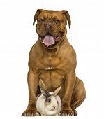 picture of dogue de bordeaux  - Front view of a Dogue de Bordeaux panting - JPG