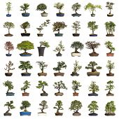 image of bonsai  - Collection of bonsai trees - JPG