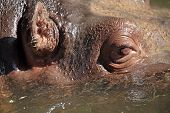 picture of hippopotamus  - Details of the face of a hippopotamus  - JPG