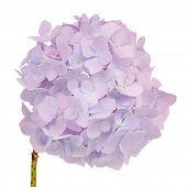 image of hydrangea  - Beautiful light purple hydrangea flowers with stem on a white background - JPG