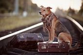 stock photo of mongrel dog  - Dog on rails with suitcases. The dog looks for the house. The dog waits for the owner. The lost dog. Mongrel on the road. Dog on rails. Dog with suitcases. Not purebred dog on the road. Traveler. Vagrant dog. Tramp.