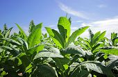 foto of snuff  - growing tobacco in a field in Poland - JPG