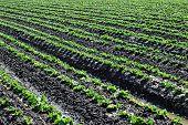 Lettuce Crop poster