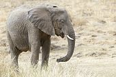 picture of terrestrial animal  - African elephant female eats dried grass Kenya - JPG