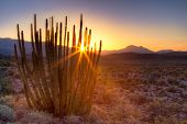 stock photo of pipe organ  - Sun rises behind Organ Pipe Cactus in Arizona - JPG