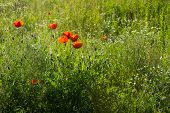 stock photo of tall grass  - several red poppies in a field of tall grass and daisies - JPG