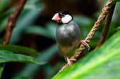 stock photo of java sparrow  - Java Sparrow  - JPG
