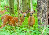 image of buck  - Whitetail Deer Buck In Velvet standing in the woods - JPG