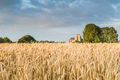 picture of veer  - Reaping white in an agricultural field near the Hostoric Town Veere. With view on the big Church zeeland The Netherlands.