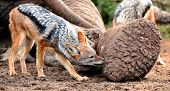 picture of jackal  - Black backed jackal chewing at the carcass of a dead elephant - JPG