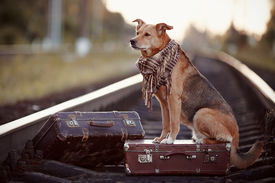 foto of dog tracks  - Dog on rails with suitcases. The dog looks for the house. The dog waits for the owner. The lost dog. Mongrel on the road. Dog on rails. Dog with suitcases. Not purebred dog on the road. Traveler. Vagrant dog. Tramp. ** Note: Visible grain at 100%, best a - JPG