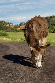 picture of burro  - lone wild burro on the road in Custer state park South Dakota - JPG