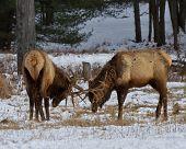 pic of sparring  - Bull elk sparring in the snow - JPG