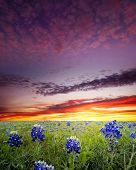 pic of bluebonnets  - Open meadow containing numerous bluebonnets under a colorful dawn sky - JPG