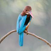 stock photo of throat  - Beautiful Kingfisher blue bird White - JPG