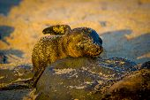 stock photo of sea lion  - baby sea lion at sunset in galapagos islands ecuador - JPG